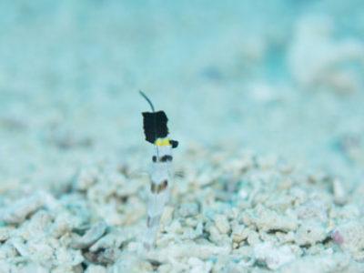奄美ダイビング これぞ人間とハゼとエビの共同作業、海藻キャッチ!!