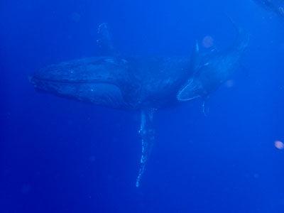 奄美ホエールスイム&ウォッチング 親子クジラをロスト後の再開!!