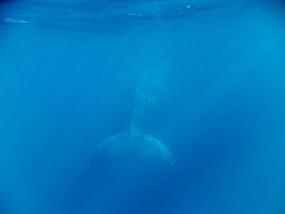 奄美ホエールスイム&ウォッチング 幸先のいいクジラ船!!