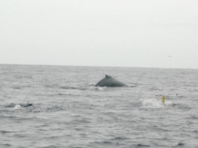 奄美ホエールスイム&ホエールウォッチング クジラが・・・・・。