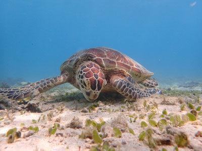 奄美ダイビング ウミガメ増えてました。