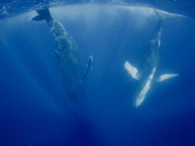 奄美ホエールスイム&ウォッチング 最高のクジラでした!!